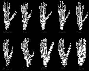 voeten_skelet_apen_mensen
