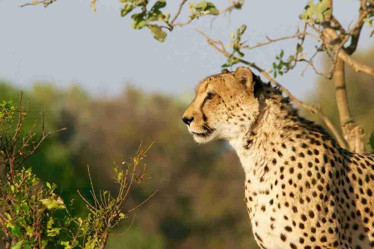 cheetah.pixabay