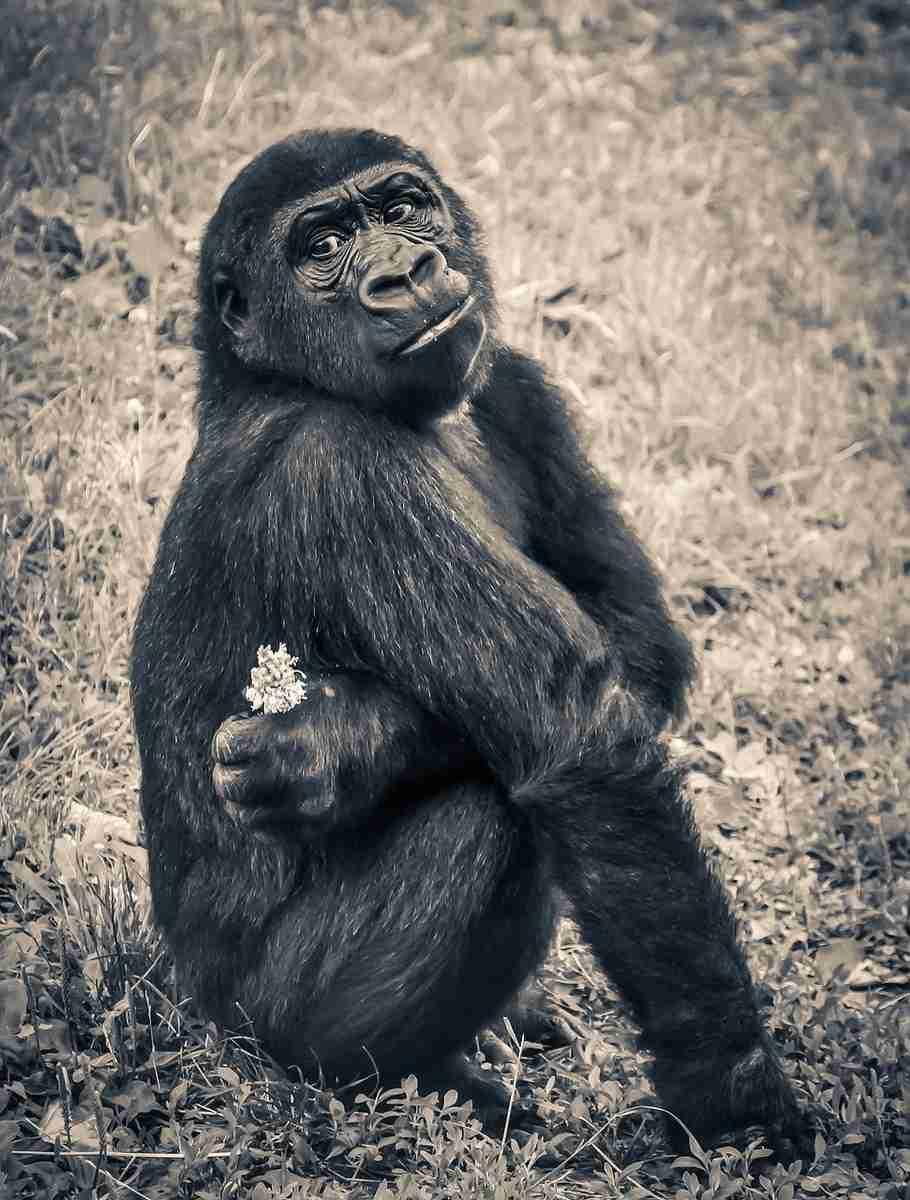 Gorilla_jong.pixabay