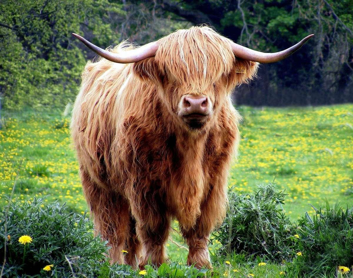 cow-431729_1280