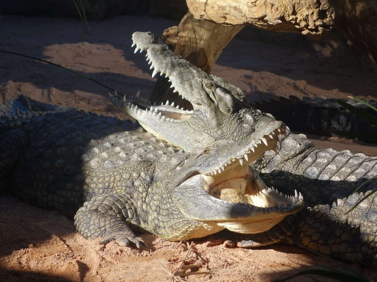 Crocodiles_resting_together.wikipedia