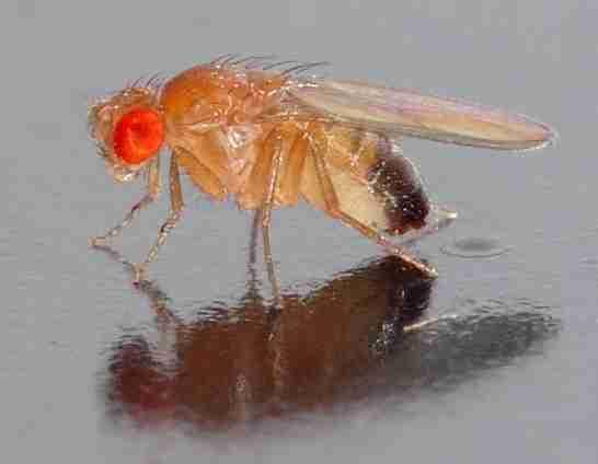Drosophila_melanogaster_-_side_(aka).wikipedia