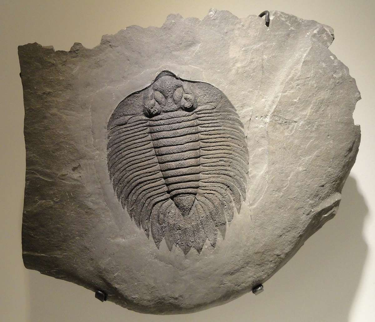 arctinurus-boltoni-883871_1280