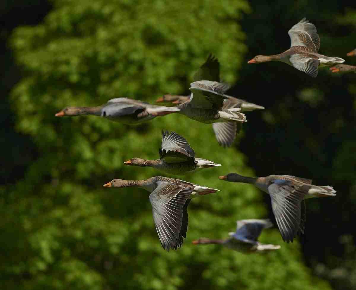flock-of-birds-350290_1280