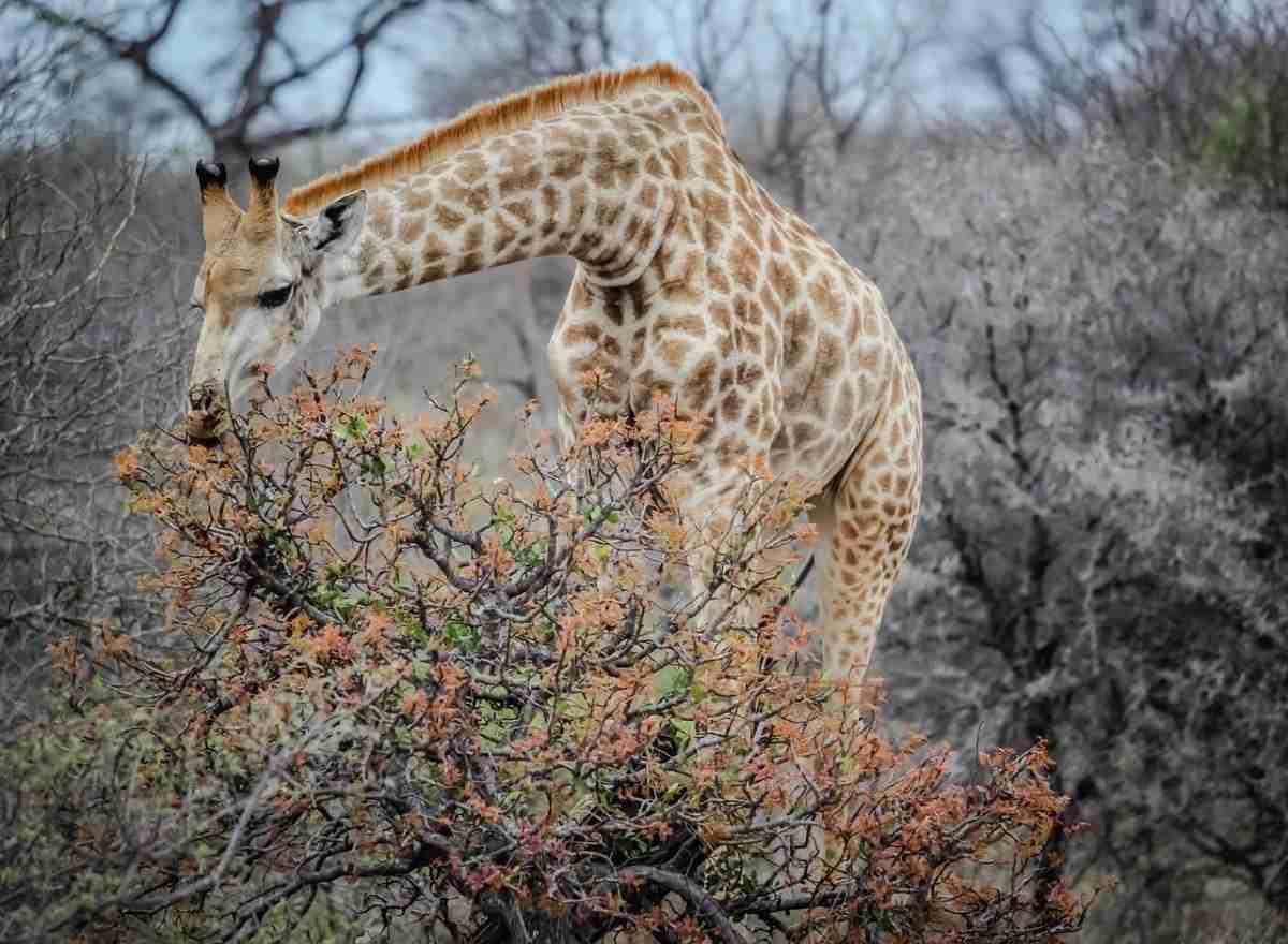 giraffe_lamarck-pixabay