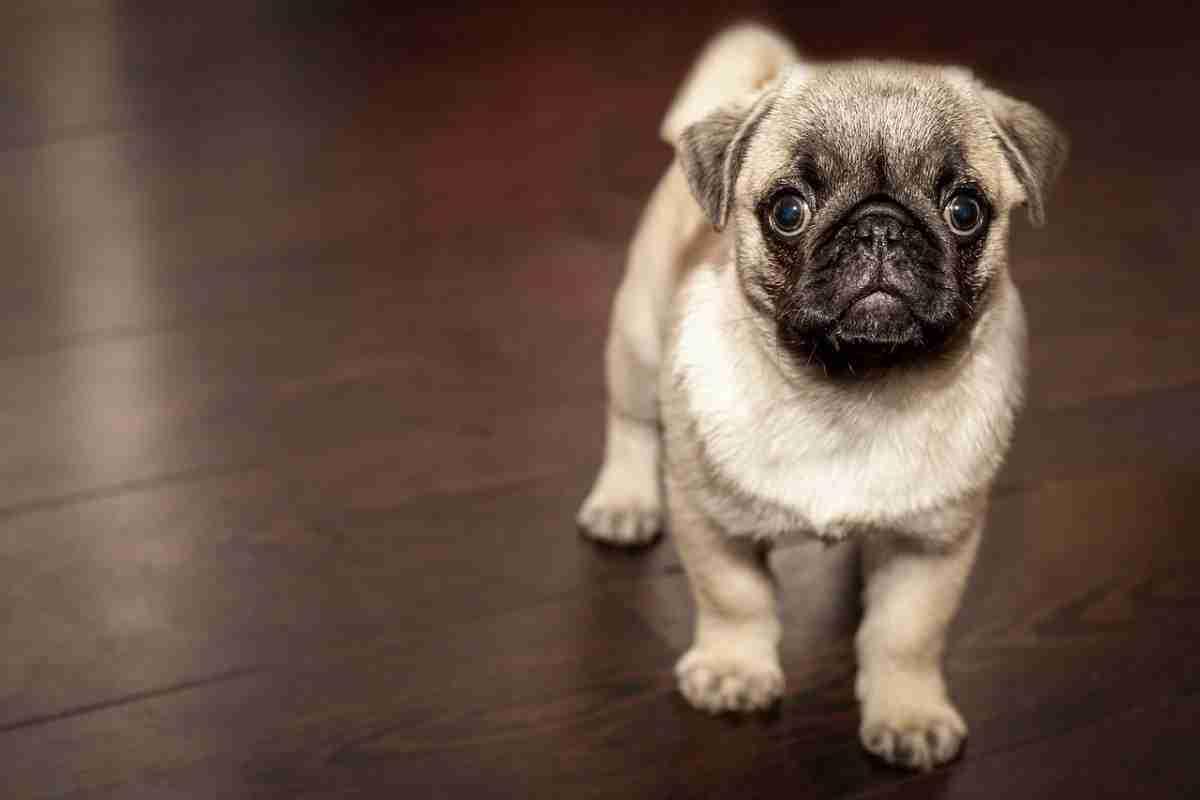 huisdier_hond-pixabay