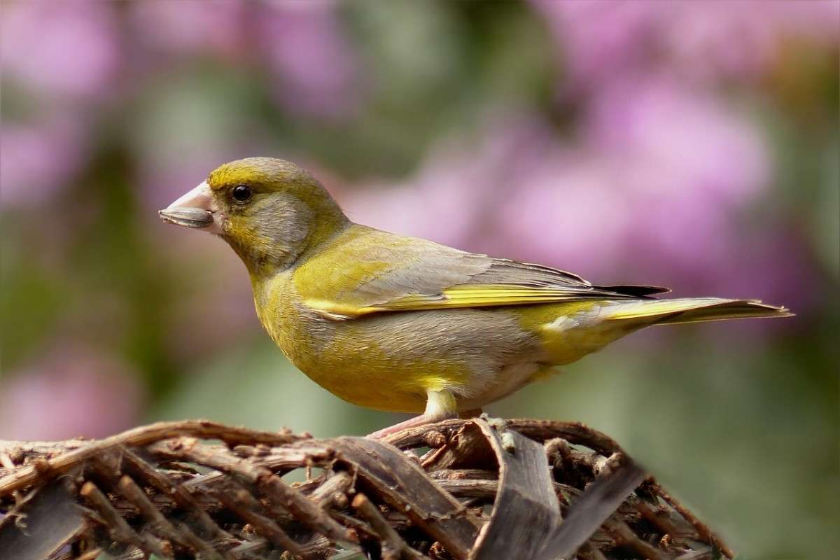 greenfinch-818185_1280