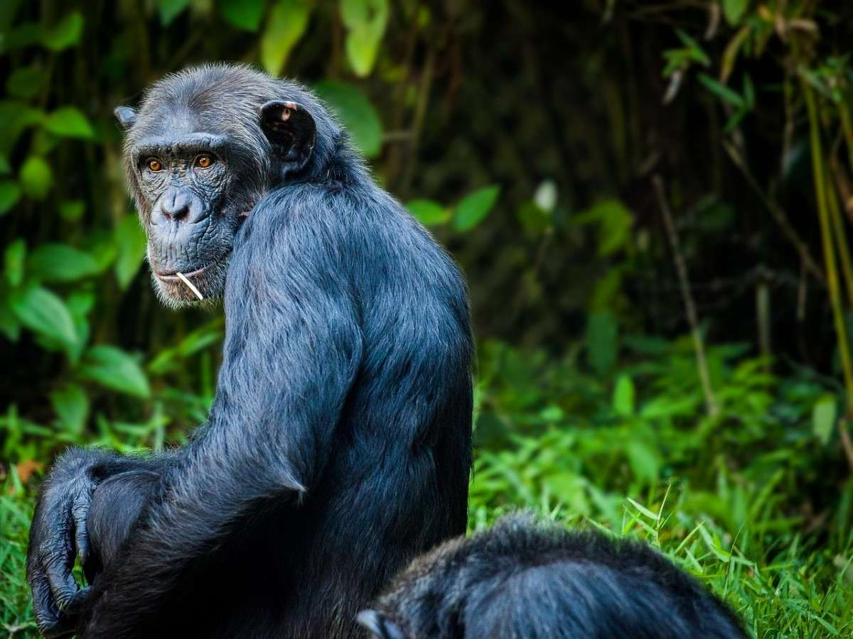 chimpansee_evolutie-pixabay