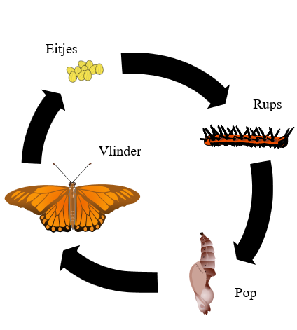 de_vier_stadia_van_een_vlinder-wikipedia