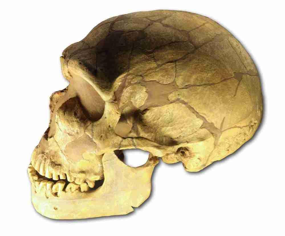 ferrassie_skull-wikipedia