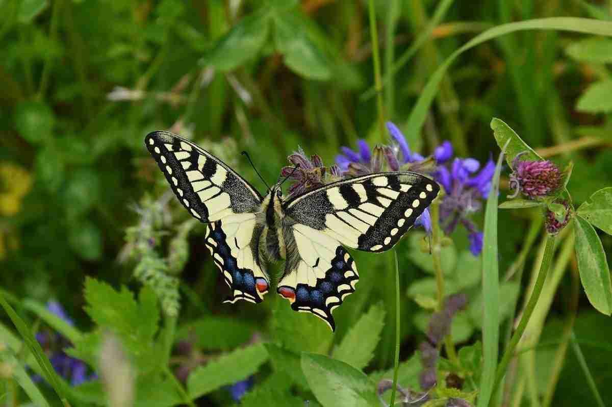 zwaluwstaart_vlinder-pixabay