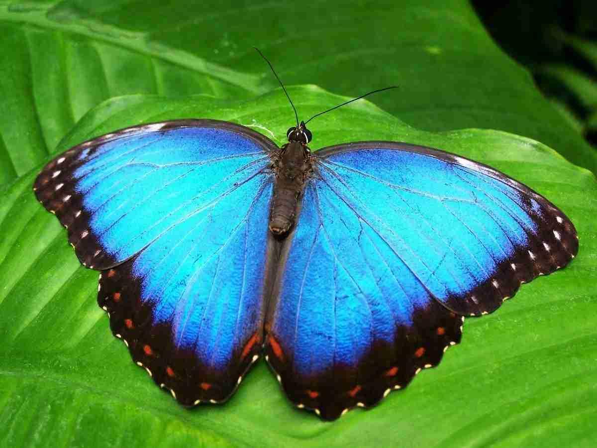 vlinder_blauw-pixabay