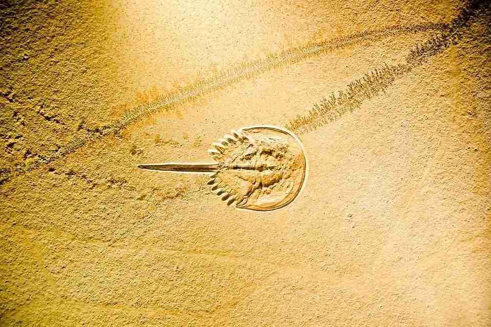 hoefijzerkrab-fossiel-pixabay
