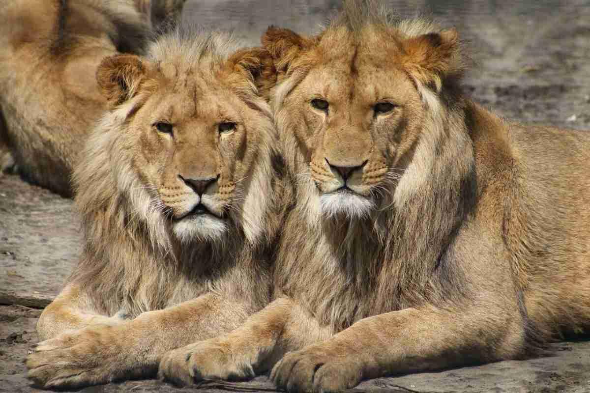 leeuwen_dierentuin-pixabay