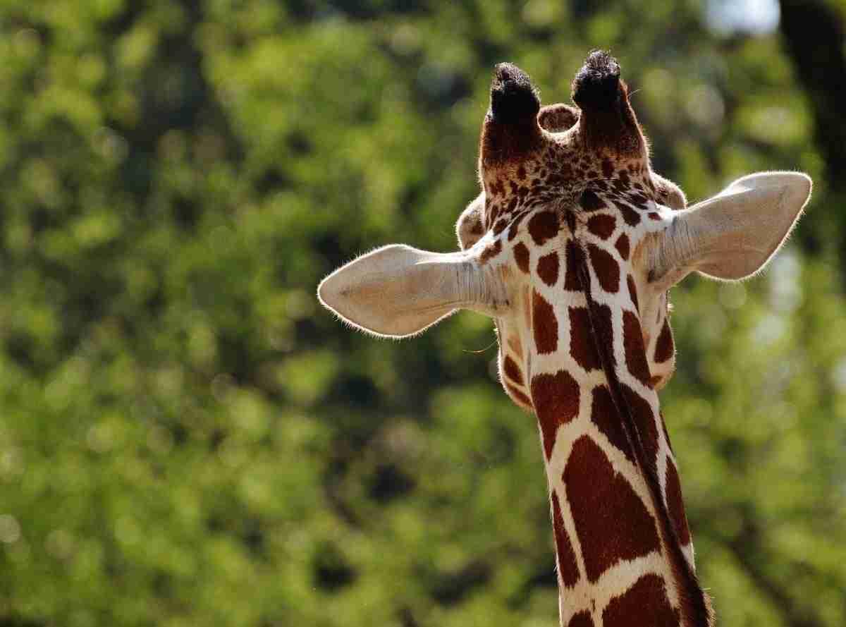Giraffe.kijken.pixabay