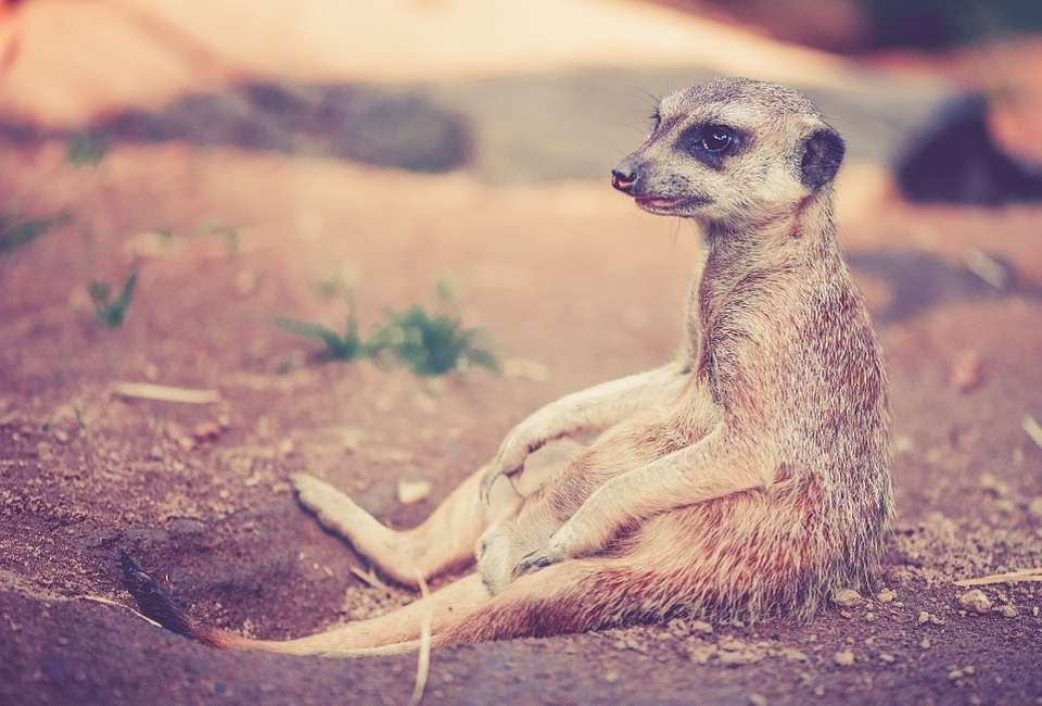 meerkat_afrika.pixabay