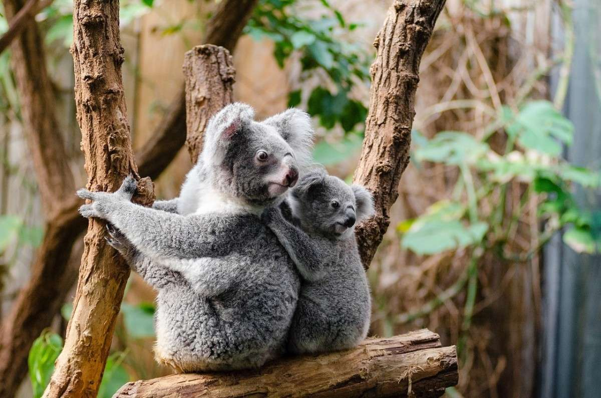 koala_kijken.pixabay