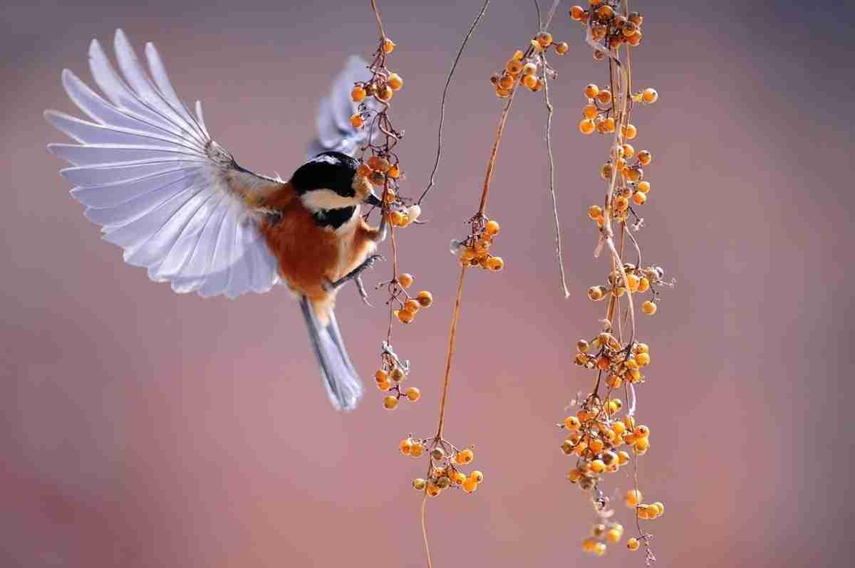 vogels_bessen.pixabay