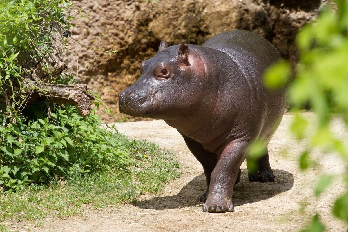 jong_nijlpaard.pixabay