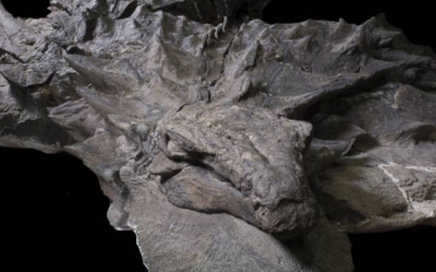 Mooiste dino-fossiel ooit?