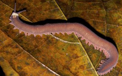 Fossiele worm gooit evolutie op zijn kop