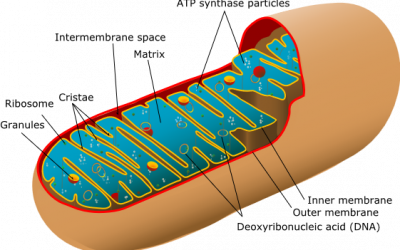 Het Mitochondrium: een mysterie
