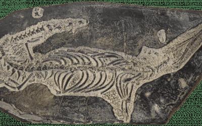 """""""Het fossielenarchief wordt gedomineerd door zogenaamde radiaties."""" – Overgangsvormen ontbreken"""