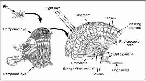 Het samengestelde oog van een insect