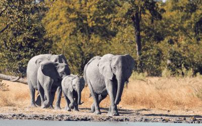 Razendsnelle evolutie van Afrikaanse olifanten